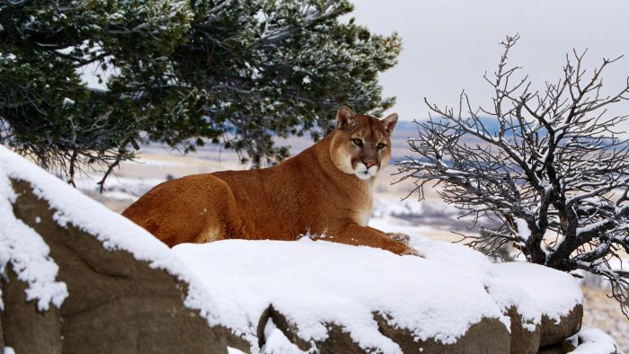 What Do Wild Mountain Lions Eat?