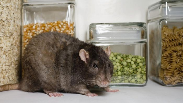 Will Vinegar Keep Rats Away?