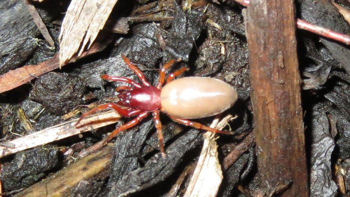 What Is a Woodlouse Spider?