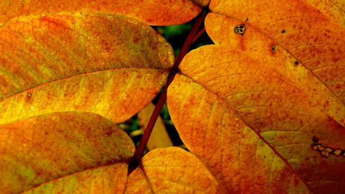 What Is the Yellow Pigment in Leaves Called?