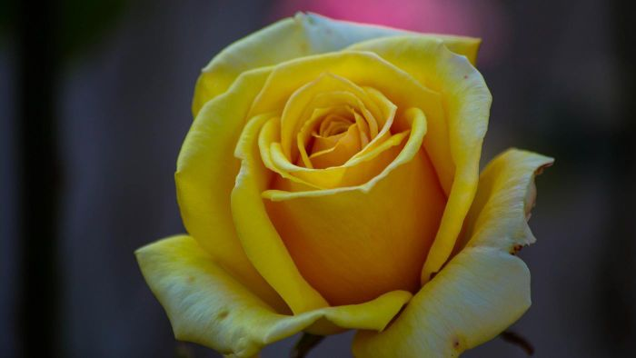 What Does a Yellow Rose Stand For?