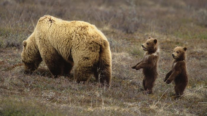 What Is a Young Bear Called?
