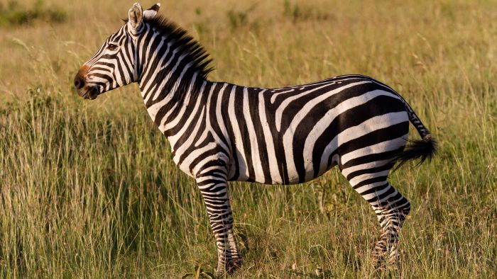 What Are Some Zebra Facts for Kids?
