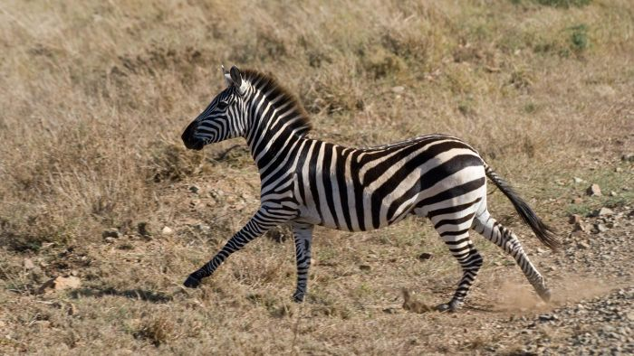 Does a Zebra Run Faster Than a Horse?