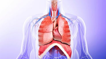What Essential Organs Are in the Thoracic Cavity?