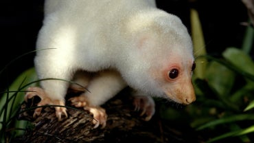 What Is a Spotted Cuscus?