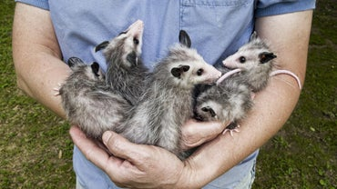 What Are the Differences Between Opossum Versus Possum?