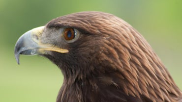 Where Do Golden Eagles Live?