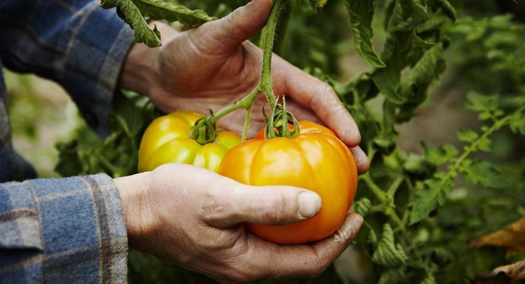 What Are Some Tomato Growing Tips?