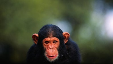 What Are Some Fun Chimpanzee Facts for Kids?