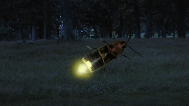 What Are Some Facts About Lightening Bugs?
