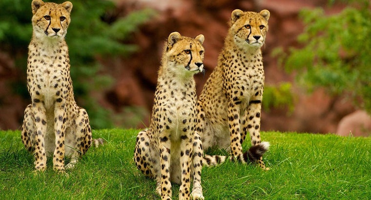 Where Does the North American Cheetah Live?