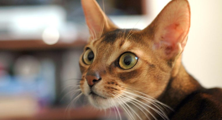 What Is an Abyssinian Cat?
