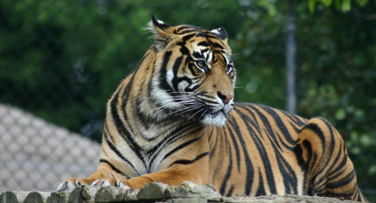 What Is an Adaptation of the Tiger?