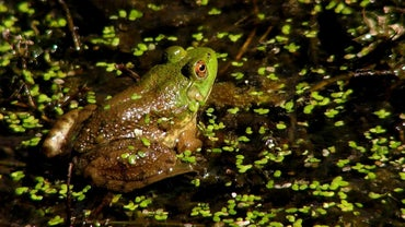 What Are the Adaptations of a Frog?