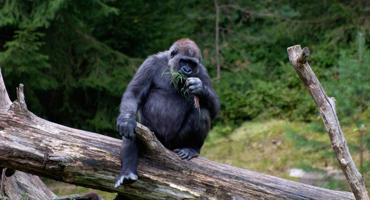 What Adaptations Does the Gorilla Have?
