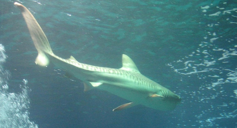 What Are the Adaptations of Tiger Sharks?