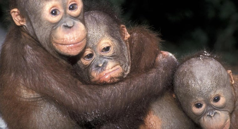 Is the Adoption of Baby Monkeys Legal in the United States?