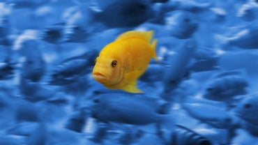 What Do African Cichlids Eat?