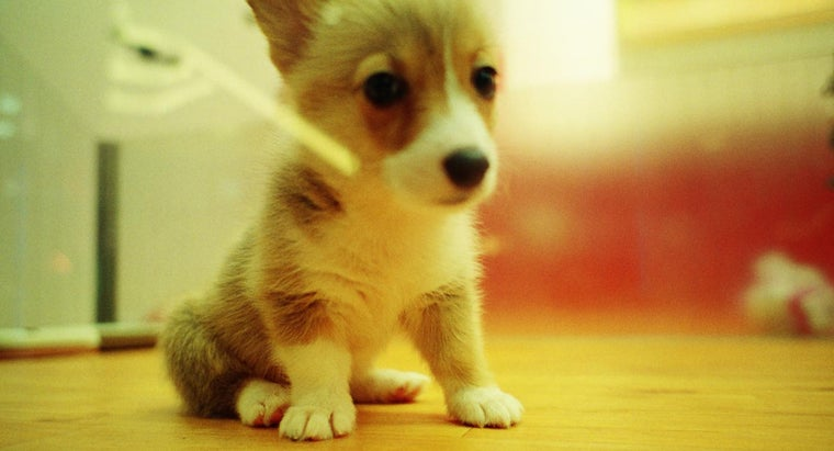 What Are Akita Inu Puppies?