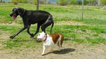 What Is an American Bulldog and Great Dane Mix?