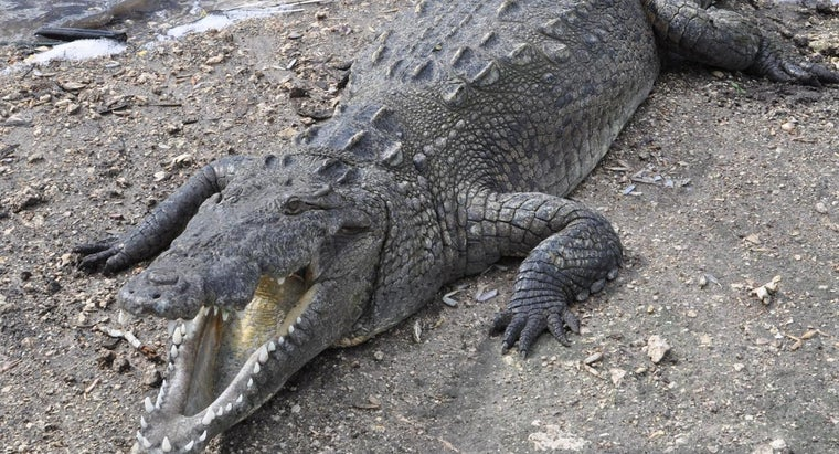 What Are the American Crocodile's Adaptations?