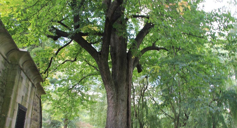 What Is the American Linden Tree?