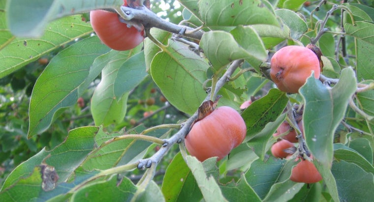 What Is an American Persimmon?