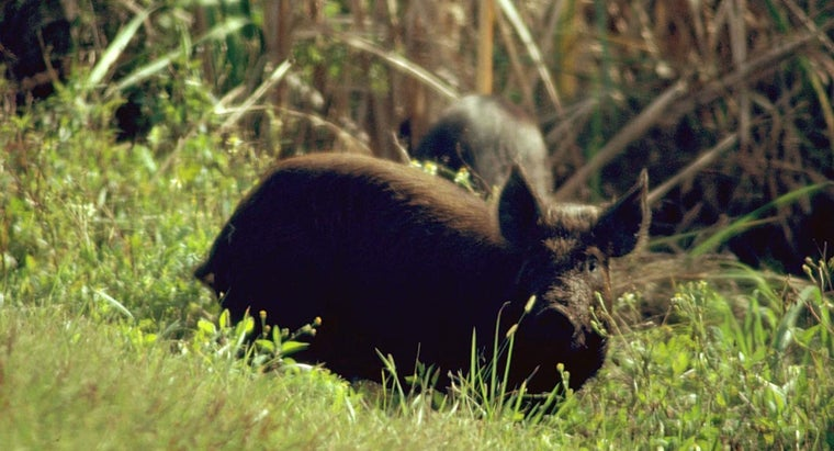 What Ammunition Shoud Be Used for Hog Hunting in North Carolina?
