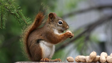 What Is the Anatomy of a Squirrel?