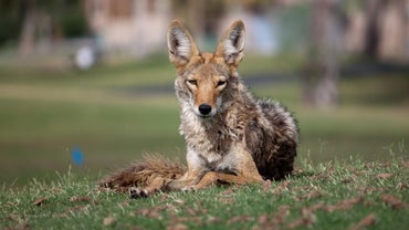 What Animal Eats Coyotes?