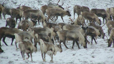 What Animals Live in the Tundra?