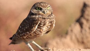 Which Animals Are Predators of Owls?