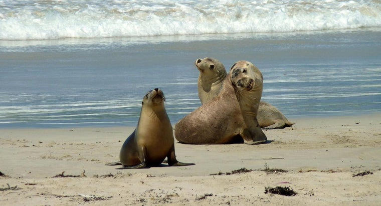 What Animals Prey on Sea Lions?