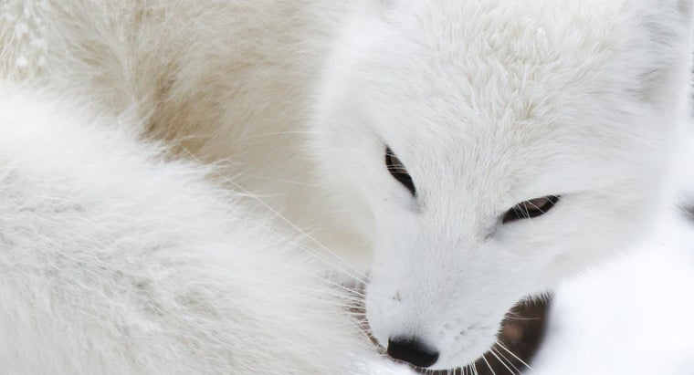 Where Does the Arctic Fox Live?