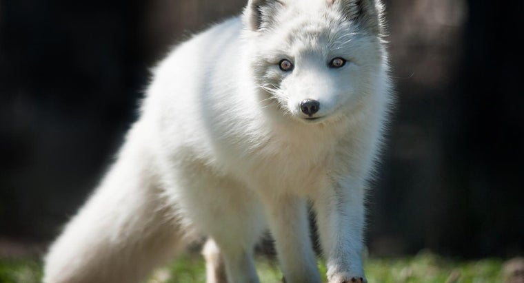 What Do Arctic Foxes Eat?