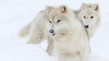 What Do Arctic Wolves Eat?