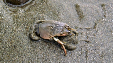 Are Sand Crabs Edible?