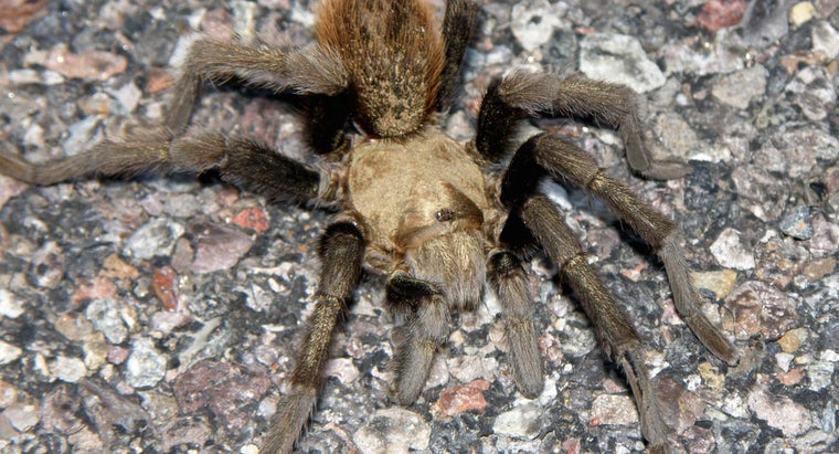 What Is an Arizona Blond Tarantula?