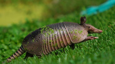Where Do Armadillos Live?