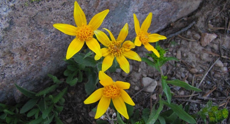 What Is the Arnica Plant?