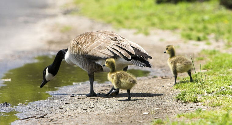 Who Was the Real Mother Goose?