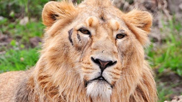 Where Is the Asiatic Lion in the Food Chain?
