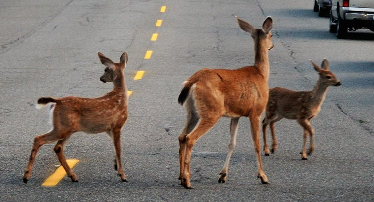 Does Auto Insurance Cover Hitting a Deer?