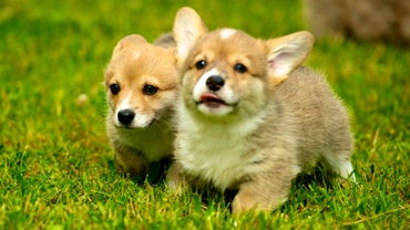 What Is the Average Price for a Welsh Corgi Puppy?