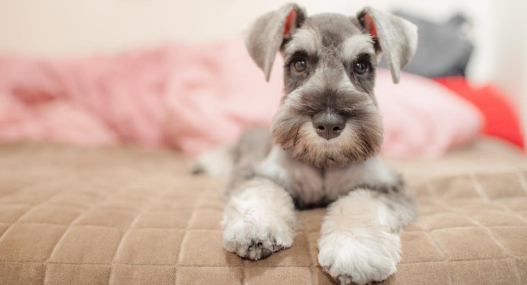 What Is the Average Size of a Miniature Schnauzer?