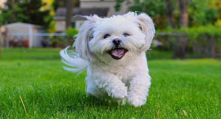 What Is the Average Size of a Shih Tzu?