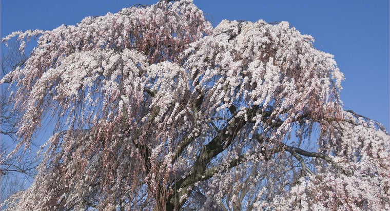 What Is the Average Size of a Weeping Cherry Tree?
