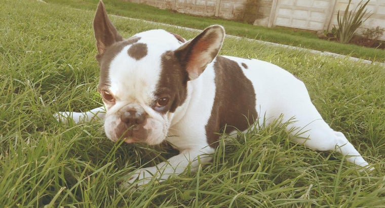 What Is the Average Weight of a French Bulldog?