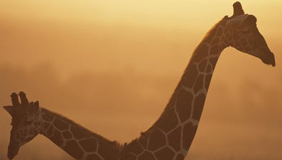 What Is the Average Weight of a Giraffe?